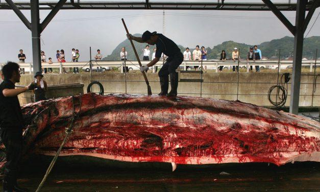 صيد الحيتان: تبريرات علمية لأطماع تجارية